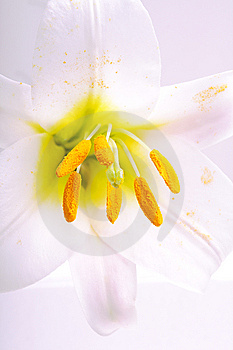 White Lily Royalty Free Stock Photos - Image: 14969768
