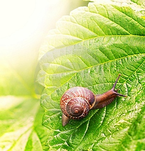 Snail Sitting On Green Leaf Royalty Free Stock Photos - Image: 14979488