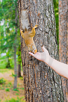 Feeding Of The Squirrel Royalty Free Stock Photo - Image: 14981135