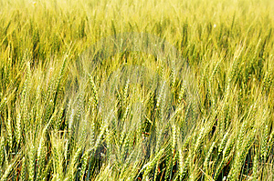 Wheat Field Close Up Royalty Free Stock Photography - Image: 14984767