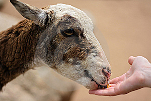 Hand Feeding Royalty Free Stock Photography - Image: 14985497