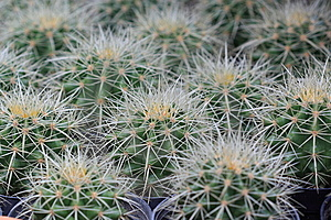 Close Up Of Cactus In Pattern Royalty Free Stock Photo - Image: 14986425