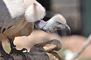 Vulture Staring Royalty Free Stock Photos - Image: 14986588