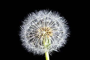 Dandelion Stock Photo - Image: 14986720