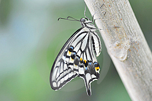 Papilio Butterfly Stock Photo - Image: 14988450