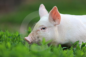 Pig. Royalty Free Stock Images - Image: 14989709