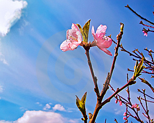 Peach Bloom Royalty Free Stock Photography - Image: 14990307