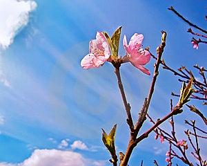 персик цветеня Стоковая Фотография RF - изображение: 14990307