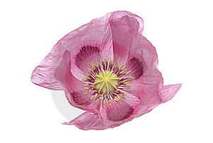 Pink Purple Poppy Royalty Free Stock Photo - Image: 14991685