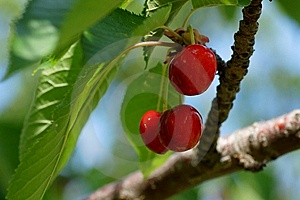 Cherries Royalty Free Stock Images - Image: 14995559
