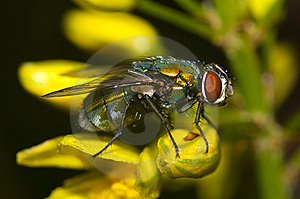 Common Fly Royalty Free Stock Image - Image: 14996136
