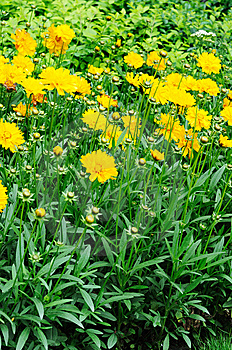 Daisies Chrysanthemum Royalty Free Stock Images - Image: 14997479