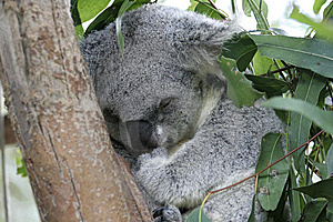 Sleeping Koala Royalty Free Stock Photo - Image: 14999535