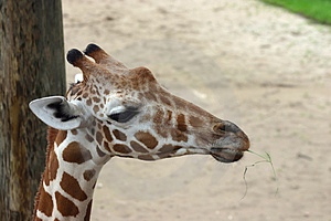 Giraffe Free Stock Photo