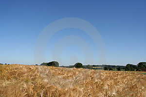 Wheat Field Free Stock Image