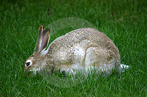 Jackrabbit-Essen Stockfotos