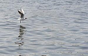 Landing Gull Free Stock Photos