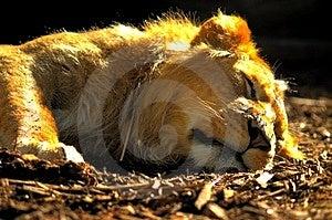 León el dormir Imagen de archivo