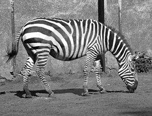 Zebra b/w Zdjęcia Royalty Free