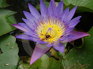 Bee And Purple Lotus Stock Photo