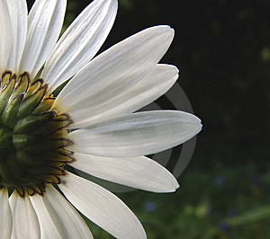 Ox-eye daisy 2 Royalty Free Stock Images