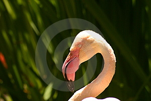 Flamingo Royalty Free Stock Photos