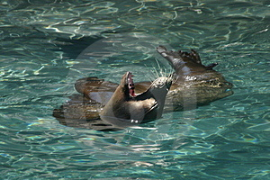 Seal Yawning Stock Photography