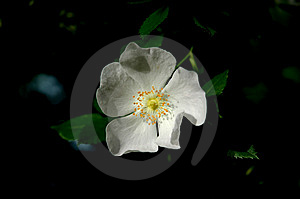 White Flower Free Stock Photos