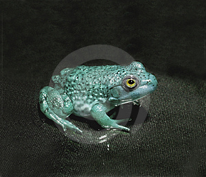 Frog Free Stock Photography