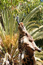 Giraffe Free Stock Photography