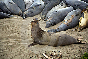 Male Sealion At The Beach Stock Images - Image: 15000644