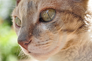 Beautiful Cornish Rex Cat Royalty Free Stock Photo - Image: 15000665