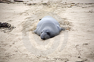 Male Sealion At The Beach Royalty Free Stock Images - Image: 15000849