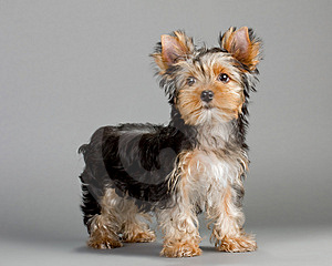 Yorkshire Terrier Puppy Royalty Free Stock Photos - Image: 15001248