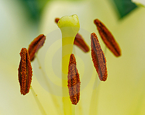 Stamens And Pistil Of  White Lily Royalty Free Stock Photography - Image: 15005157