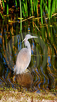 Little Blue Heron Stock Photos - Image: 15007253