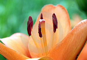 Lilium Lily Orange Royalty Free Stock Photo - Image: 15009215