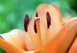 Lilium Lily Orange Royalty Free Stock Photo - Image: 15009215