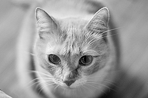 Grayscale Cat Stock Image - Image: 15012101