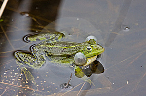 Frog With Blown Cheek. Stock Photo - Image: 15014430