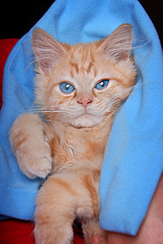 Blanket Kitty Stock Images - Image: 15020914