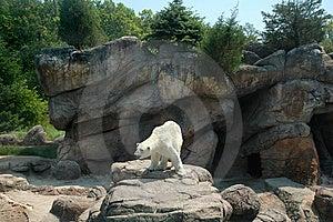 Polar Bear Royalty Free Stock Photography - Image: 15020917