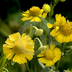 Vibrant Yellow Flowers Royalty Free Stock Photography - Image: 15021207