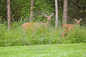 Doe And Fawn Wildlife Stock Photo - Image: 15023710