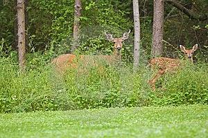 Doe And Fawn Wildlife Stock Photo - Image: 15023710