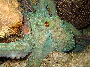 Octopus Night Dive Stock Photo - Image: 15025040