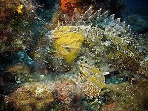 Yellow Largescaled Scorpionfish Royalty Free Stock Images - Image: 15029789