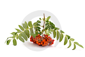 Mountain Ash Branch Stock Images - Image: 15030944