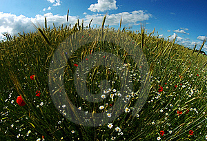 Round Wheat & Poppy Field Stock Photo - Image: 15034830