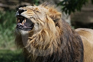 Lion Royalty Free Stock Photo - Image: 15035255